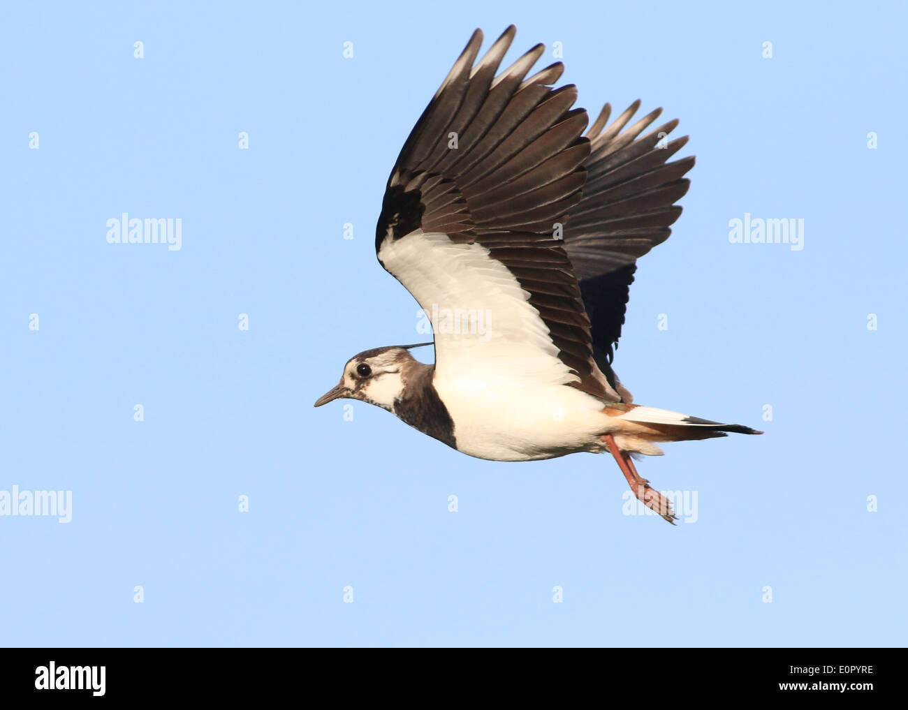 European common lapwing (vanellus vanellus) in flight at close range, wings fully extended upwards - Stock Image