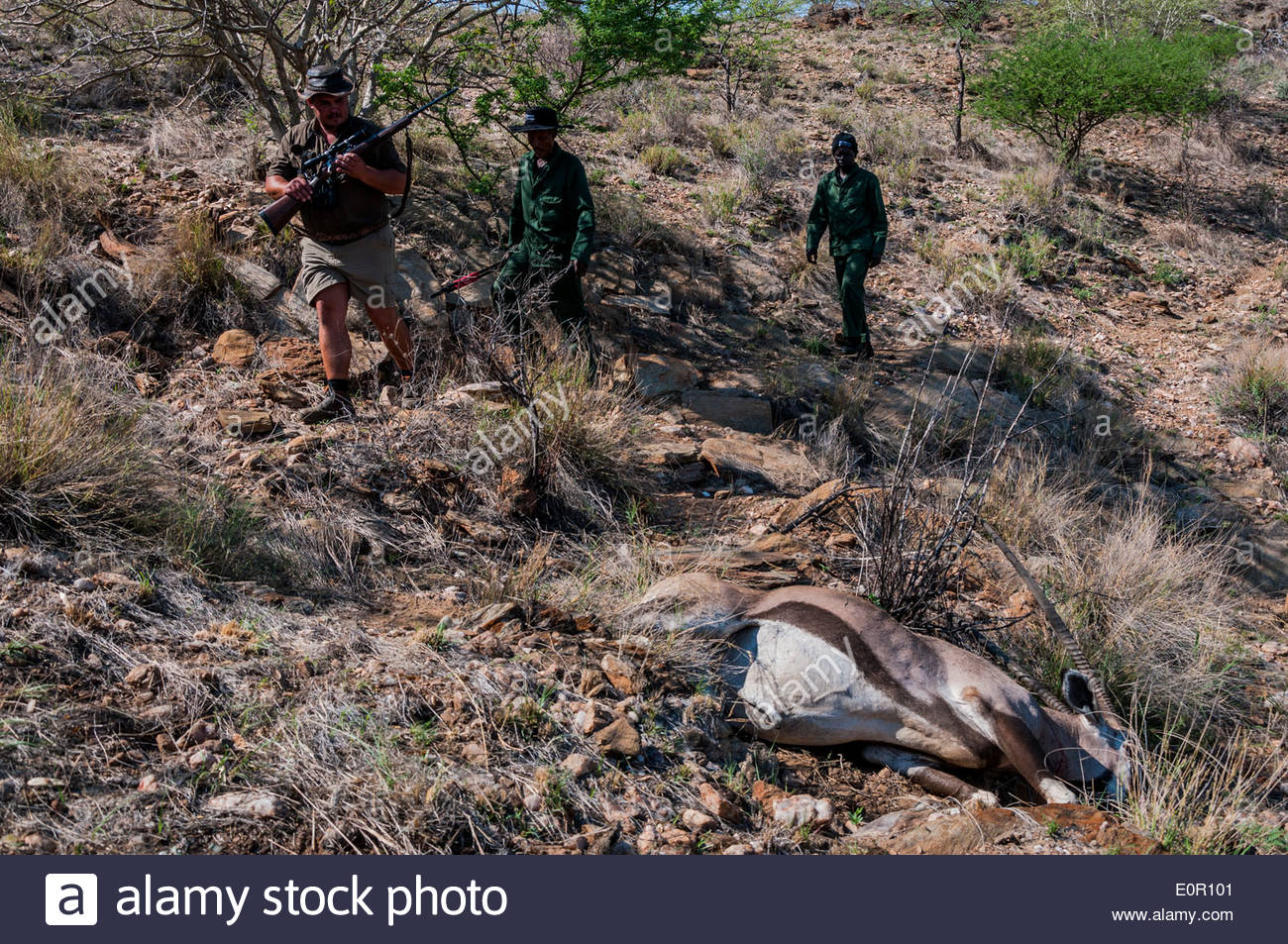 A professional hunter and two helpers cautiously approach a trophy animal (an oryx antelope) that was shot during a hunt. - Stock Image