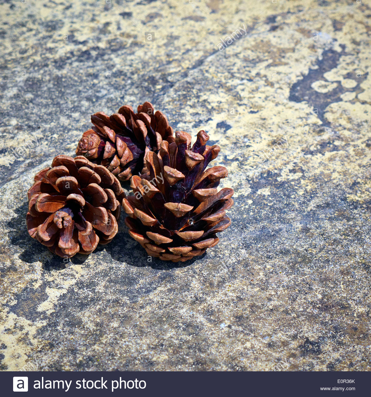three small brown fir pine cones on a stone textured paving slab - Stock Image