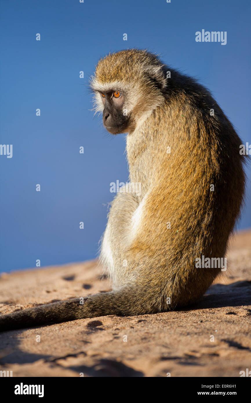 Vervet monkey (Chlorocebus pygerythrus). - Stock Image
