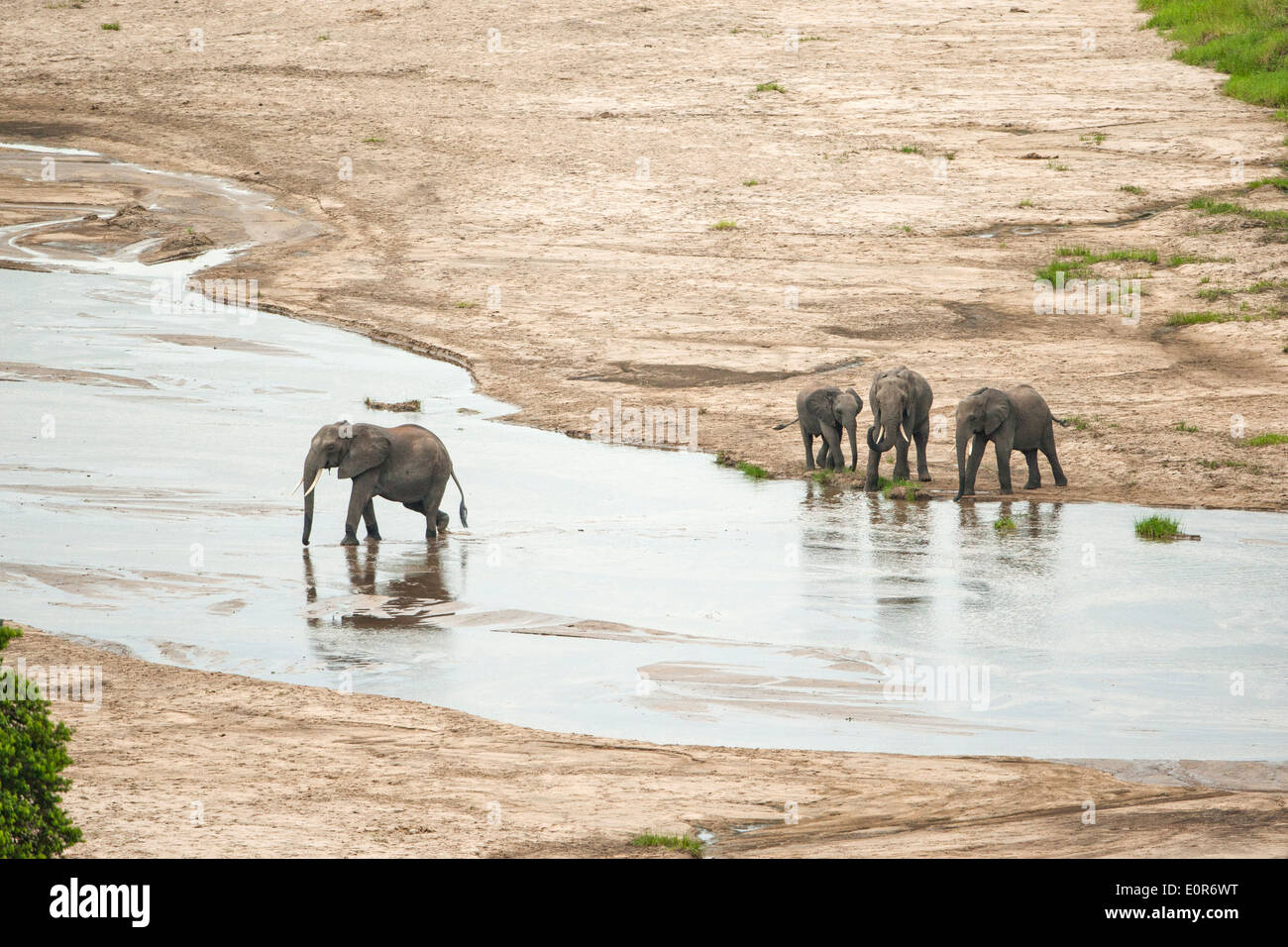 African elephant (Loxodonta africana) At the watering hole. Photographed in Tanzania - Stock Image