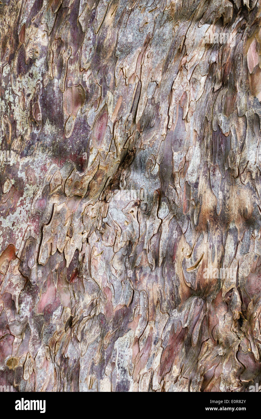 The bark of the 5000 year old yew tree (taxus baccata) in the churchyard at Discoed, Powys, UK Stock Photo