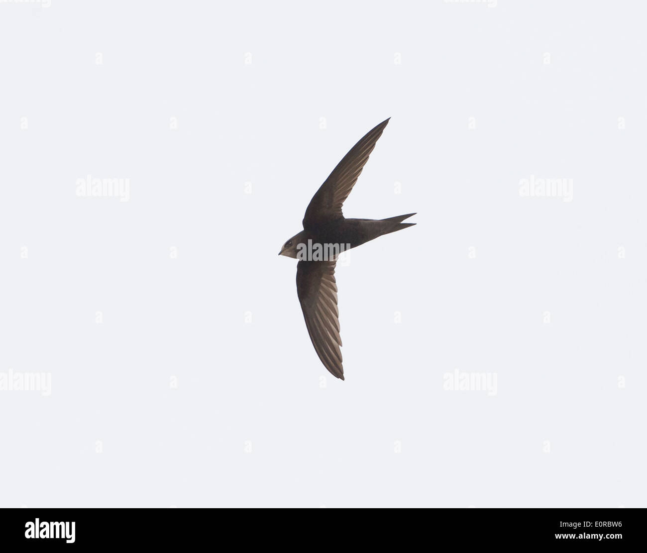 Swift Apus apus in flight over oxford uk - Stock Image