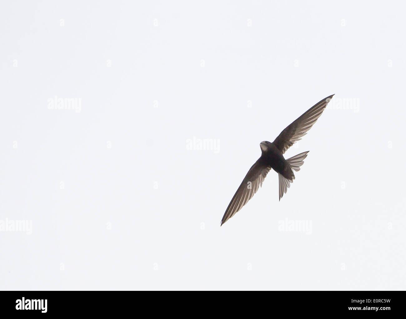 Swift Apus apus in flight over oxford uk - Stock Image