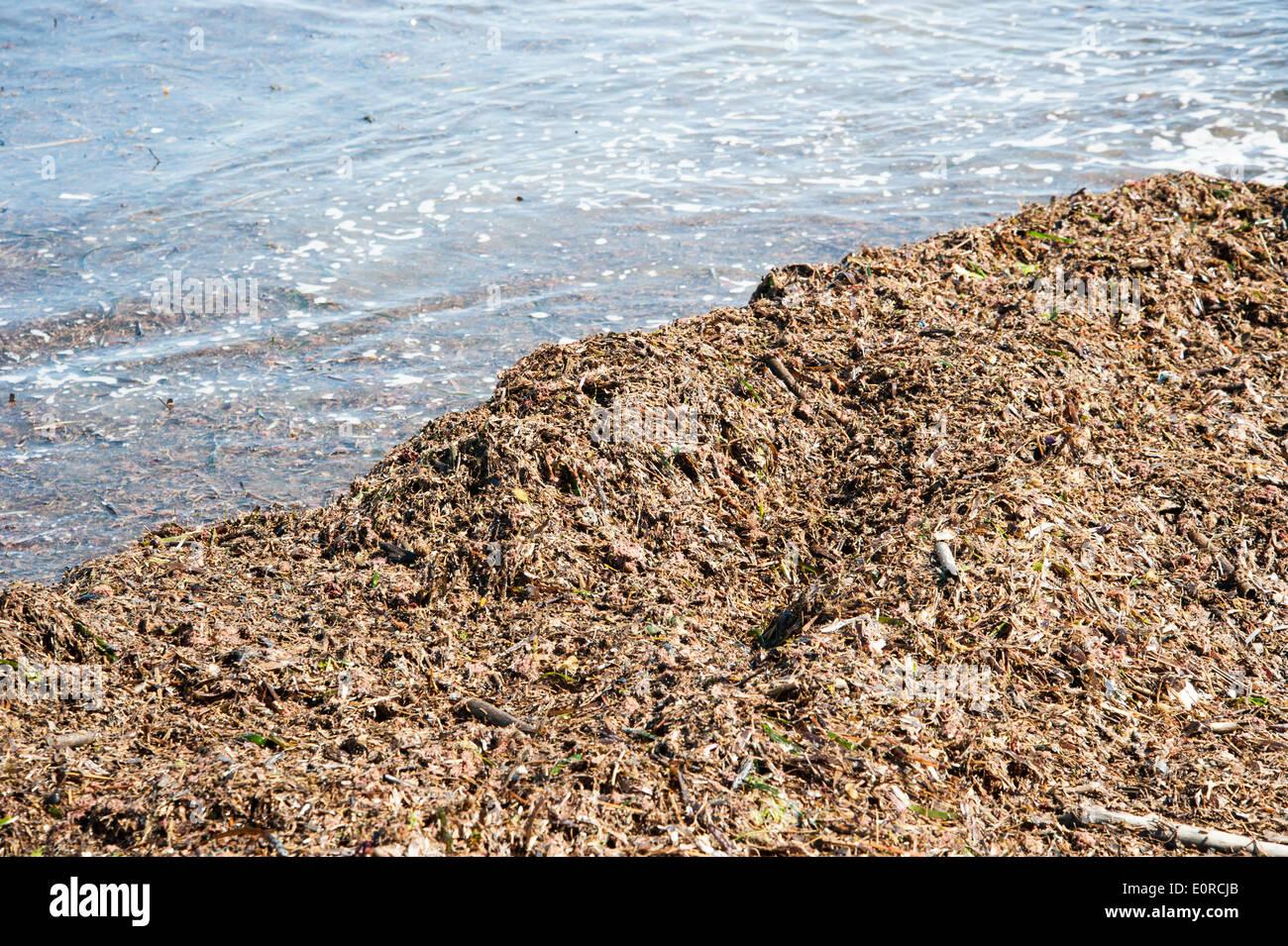 algae on the beach - Stock Image