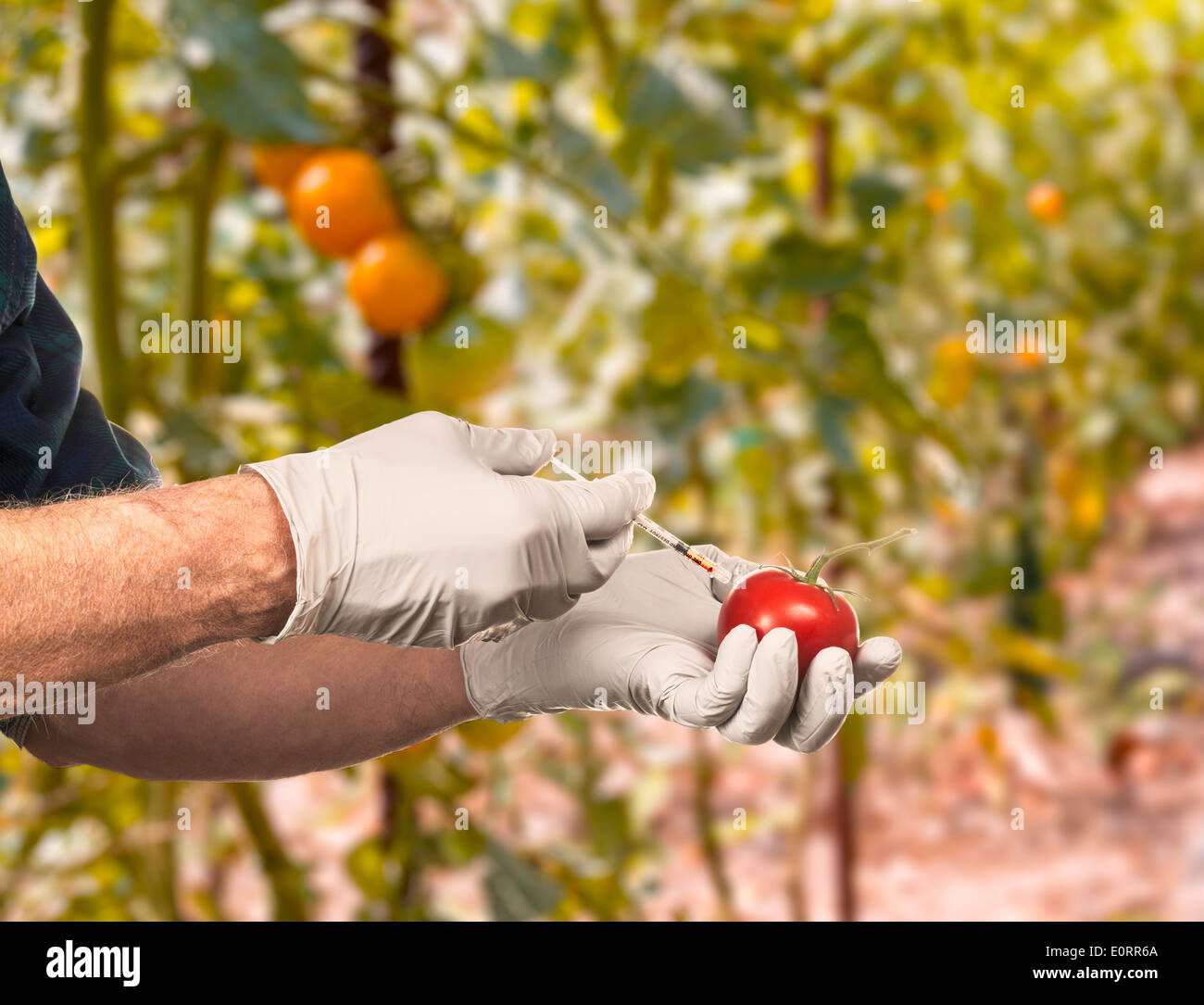 Science - Genetically modified food concept - Scientist injecting fluid into a tomato outdoors - Stock Image