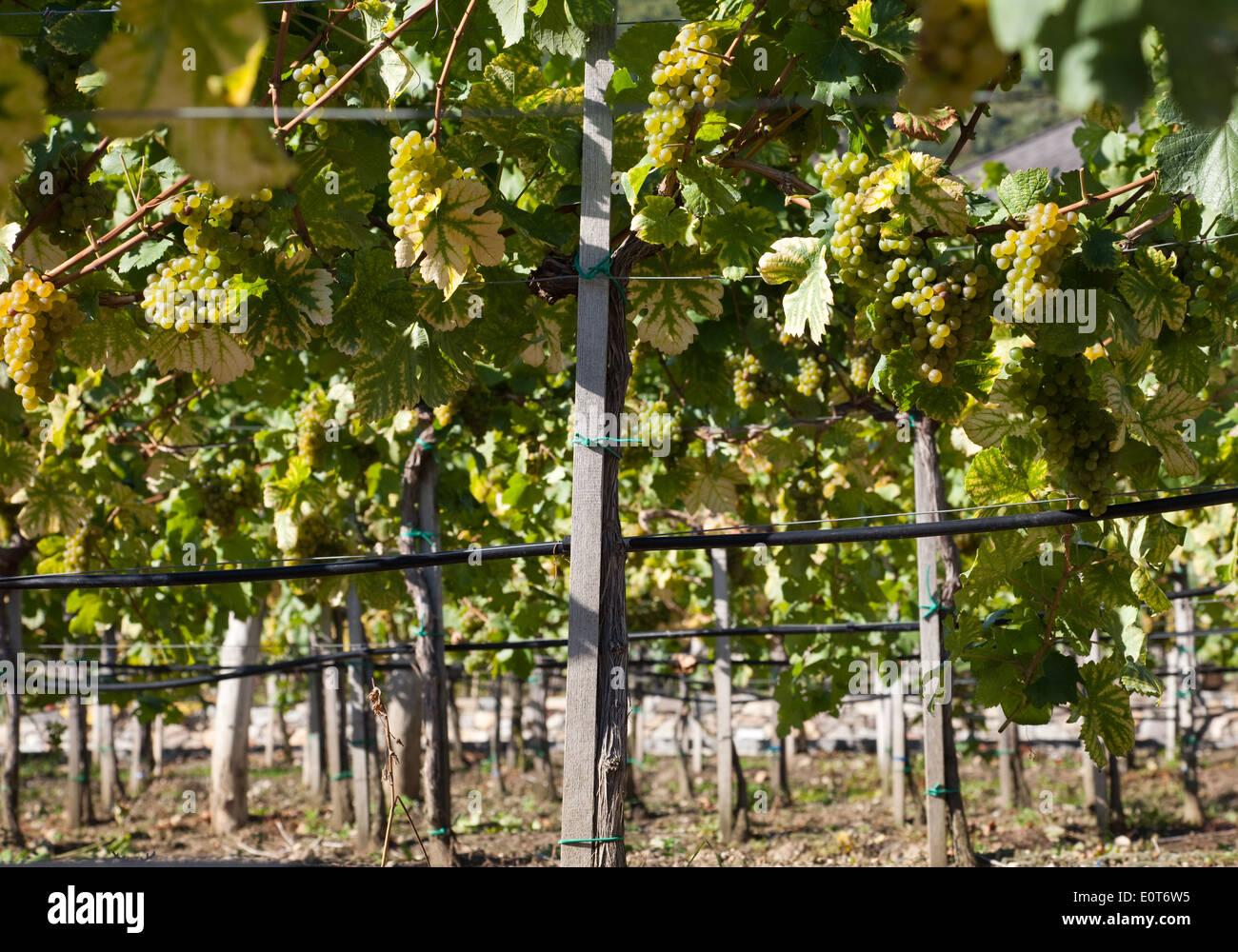 Weinberg, Weinstöcke in der Wachau, Niederösterreich, Österreich - Vineyard, Austria, Wachau Region Stock Photo