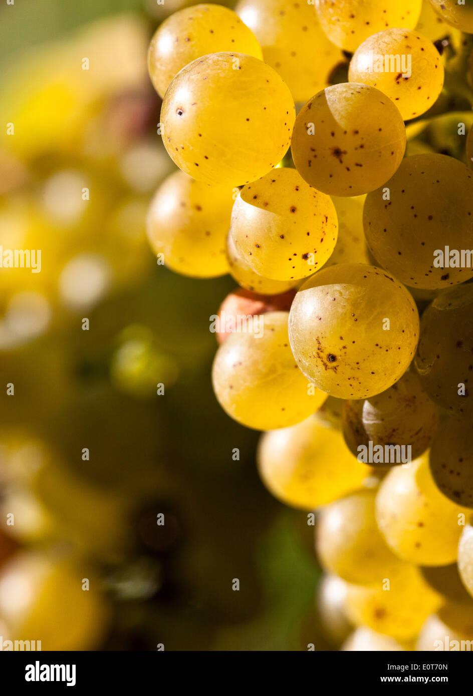 Weintrauben am Rebstock, Wachau - Grapes Stock Photo