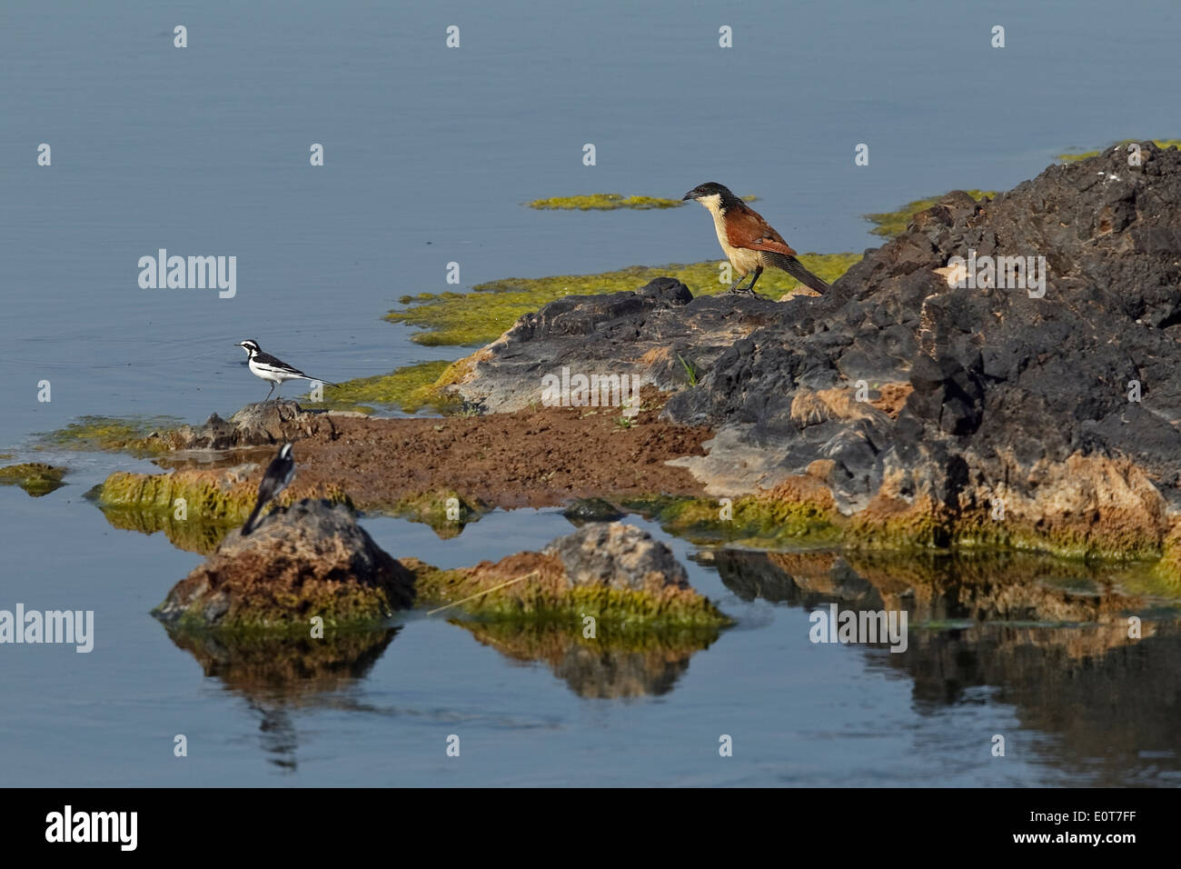 Burchell´s Coucal (Centropus burchelli) and two African Pied Wagtails (Motacilla aguimp), Kruger National Park, South Africa - Stock Image