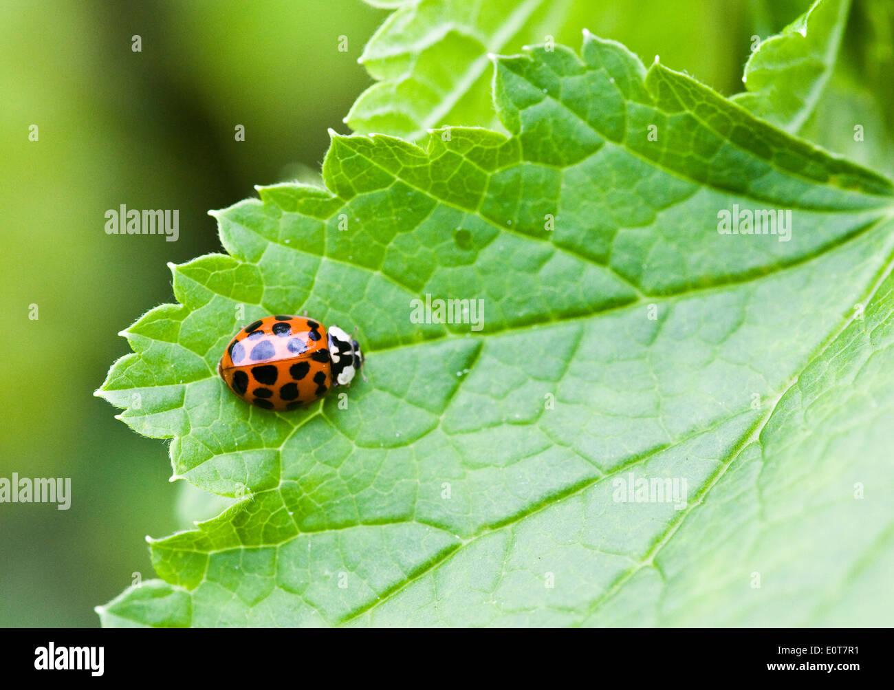 Marienkäfer - Ladybug - Stock Image