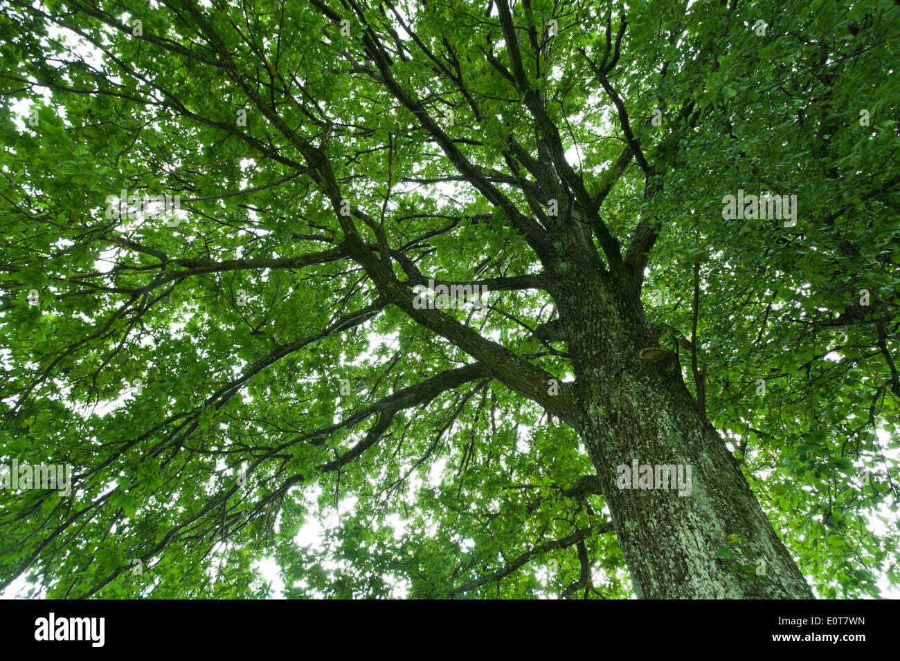 Laubbaum, Baumkrone - Broadleaf tree, treetop - Stock Image