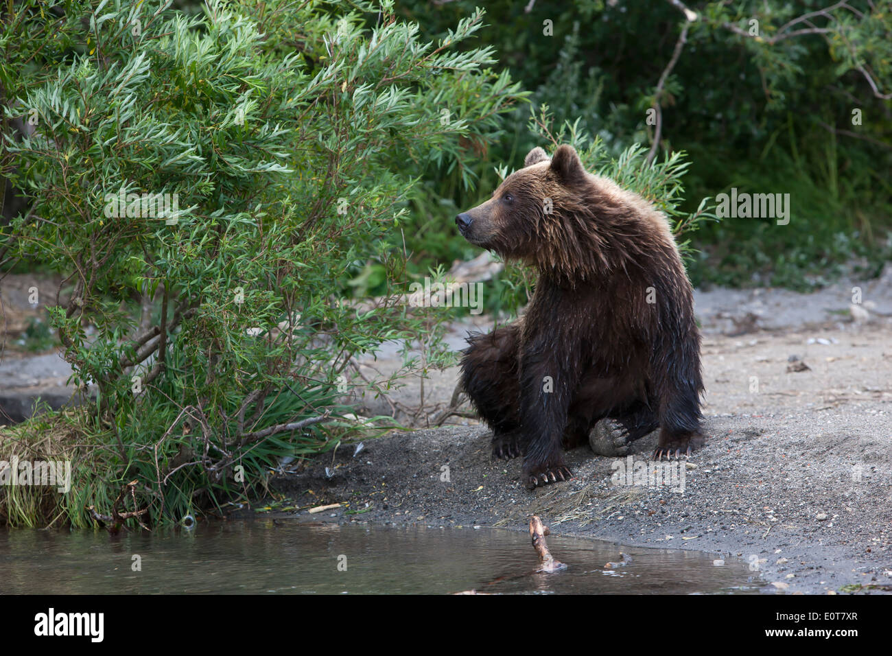 Brown bear is sitting on the edge of the stream - Stock Image