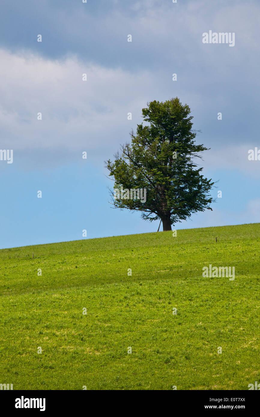 Ein einzelner Baum auf einer Wiese - Tree on a meadow - Stock Image