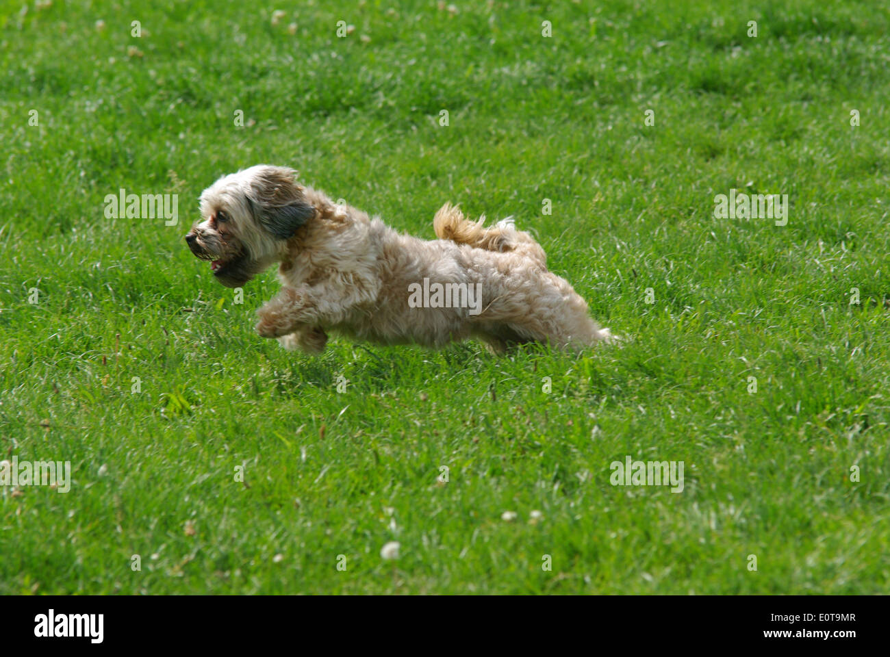 Lovely bichon dog running on the grass. - Stock Image