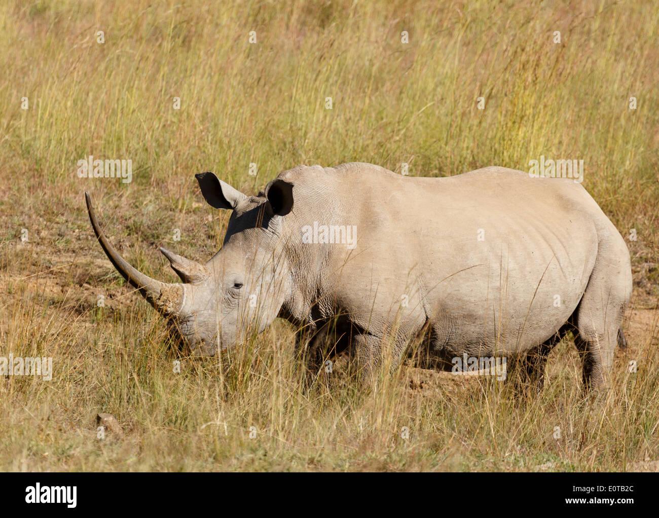White rhinoceros (Ceratotherium simum) grazing at Pilanesberg National Park, South Africa. - Stock Image