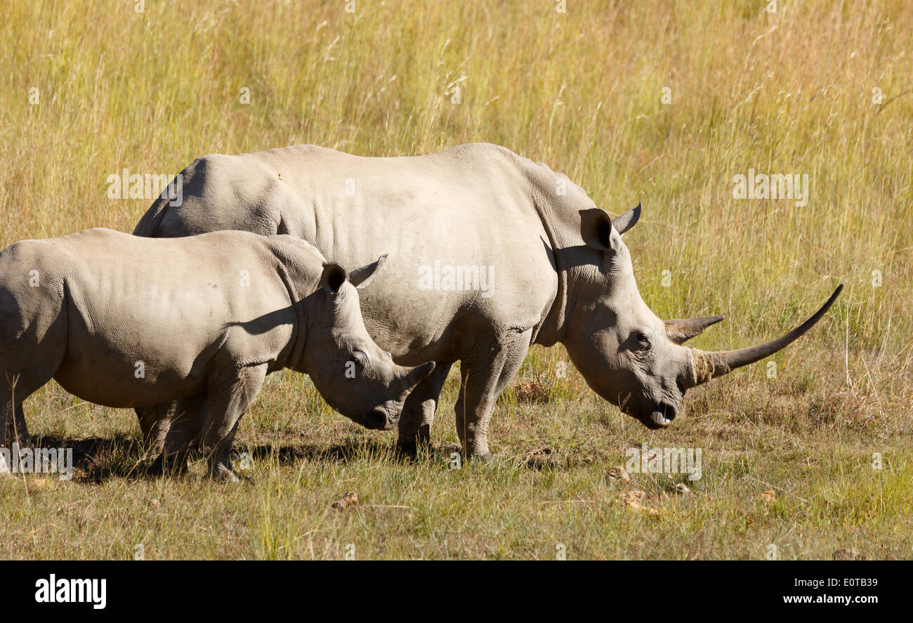 White rhinoceros (Ceratotherium simum) grazing with a calf at Pilanesberg National Park, South Africa. - Stock Image