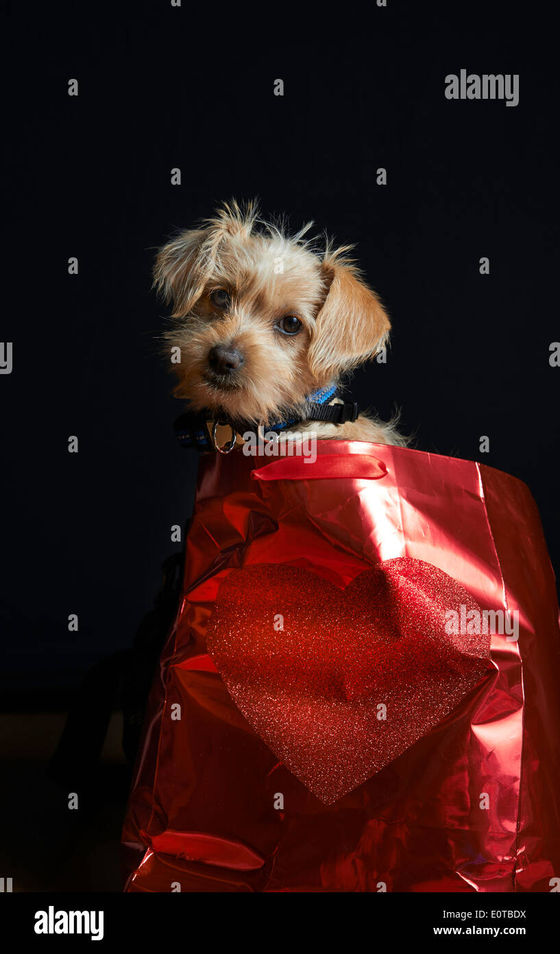 Puppy sitting in a Red Heart Bag with a Black Background tan dog - Stock Image