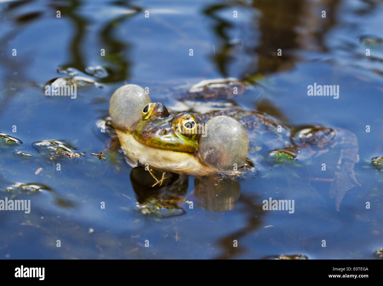 Green frog croaking - Stock Image