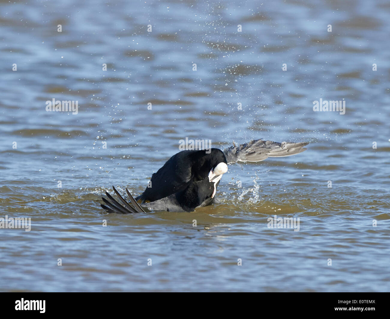Coots fighting Stock Photo