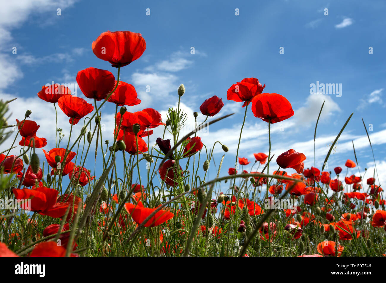 Poppies field on blue sky and clouds background - Stock Image
