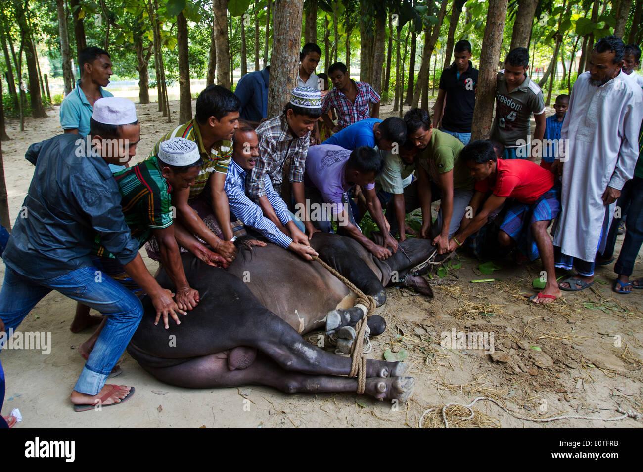 Feast of sacrifice in Feni Bangladesh - Stock Image