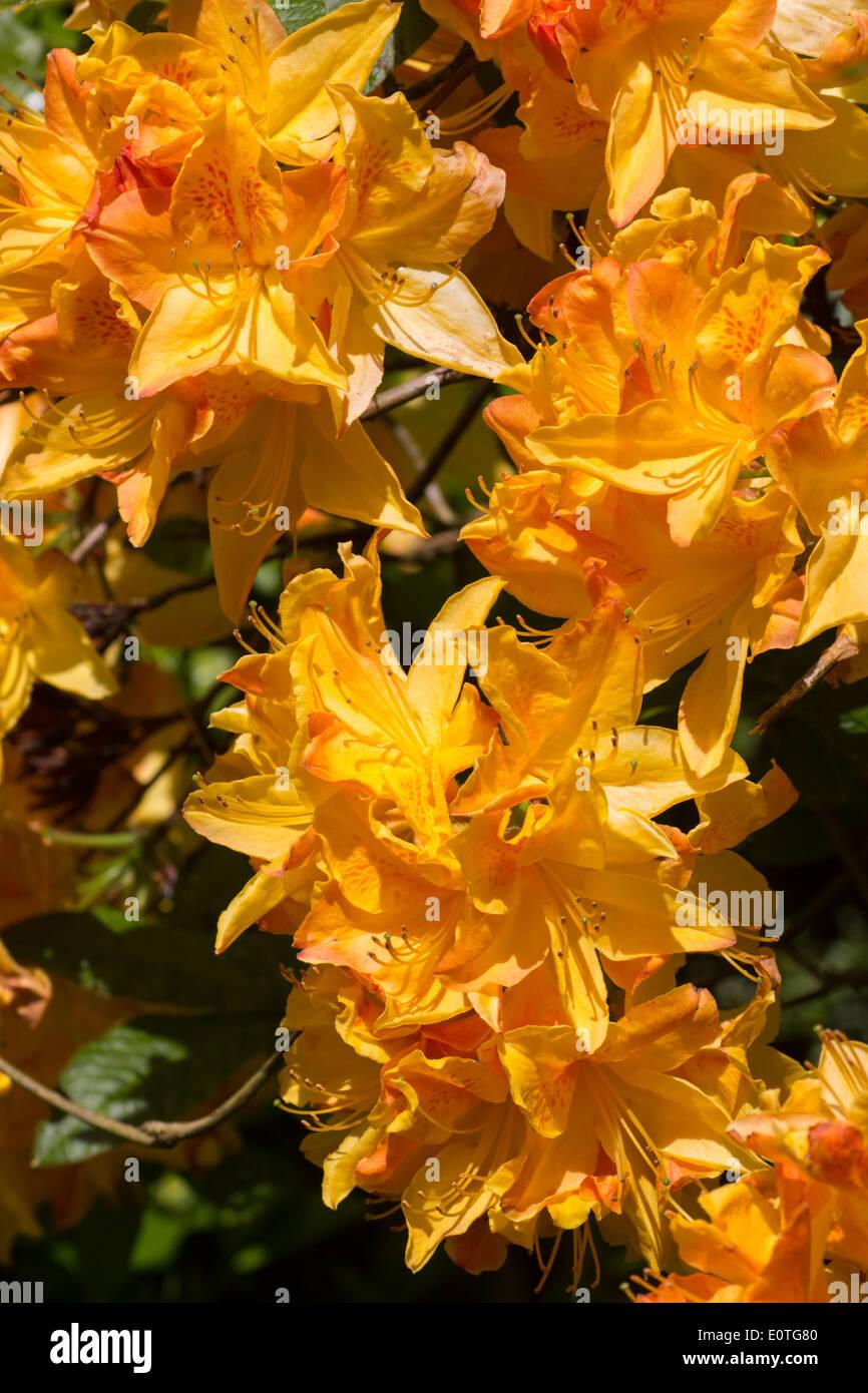 Flowers of the deciduous azalea, Rhododendron 'Sunbeam' - Stock Image