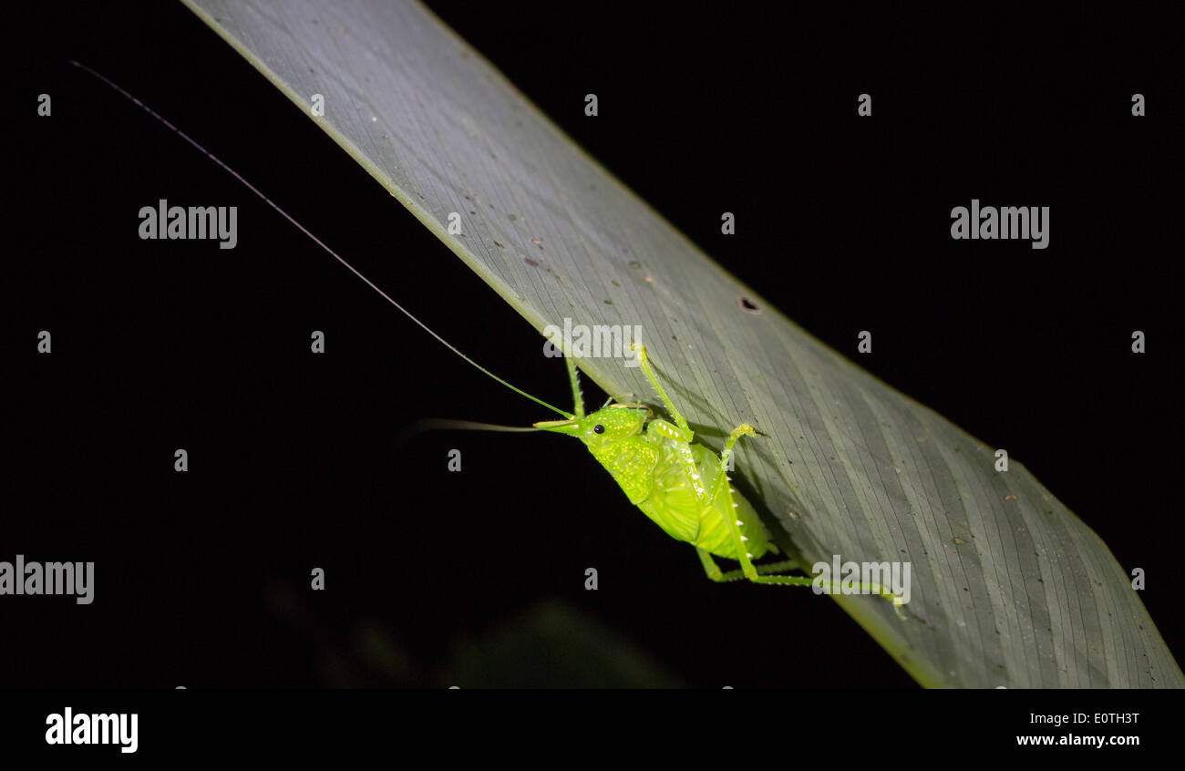 Species of Leaf Grasshopper with long antennae on the underside of a leaf in rainforest at night in Costa Rica - Stock Image