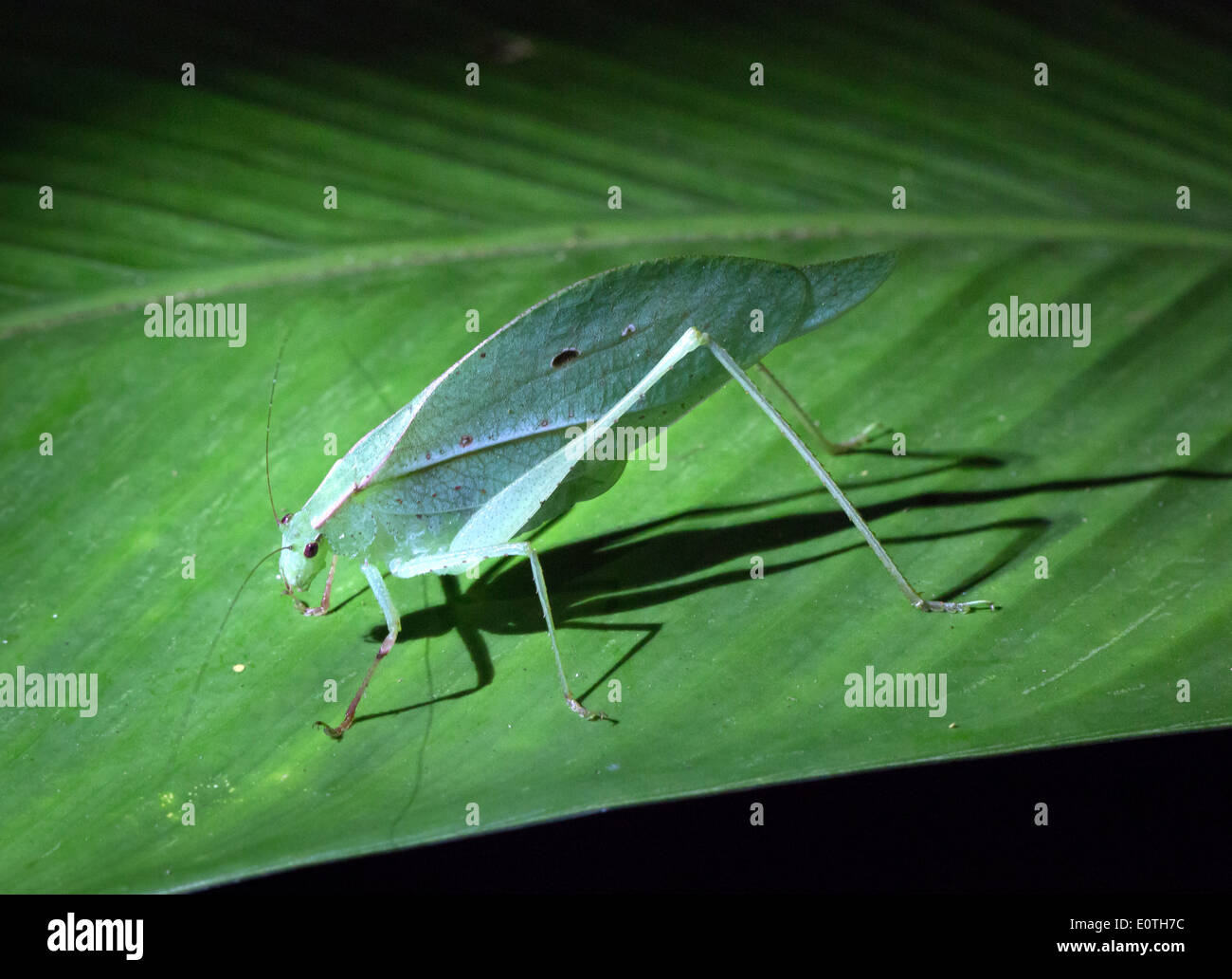 Leaf Grasshopper on a leaf at night in the rainforest of Sarapiqui Costa Rica - Stock Image