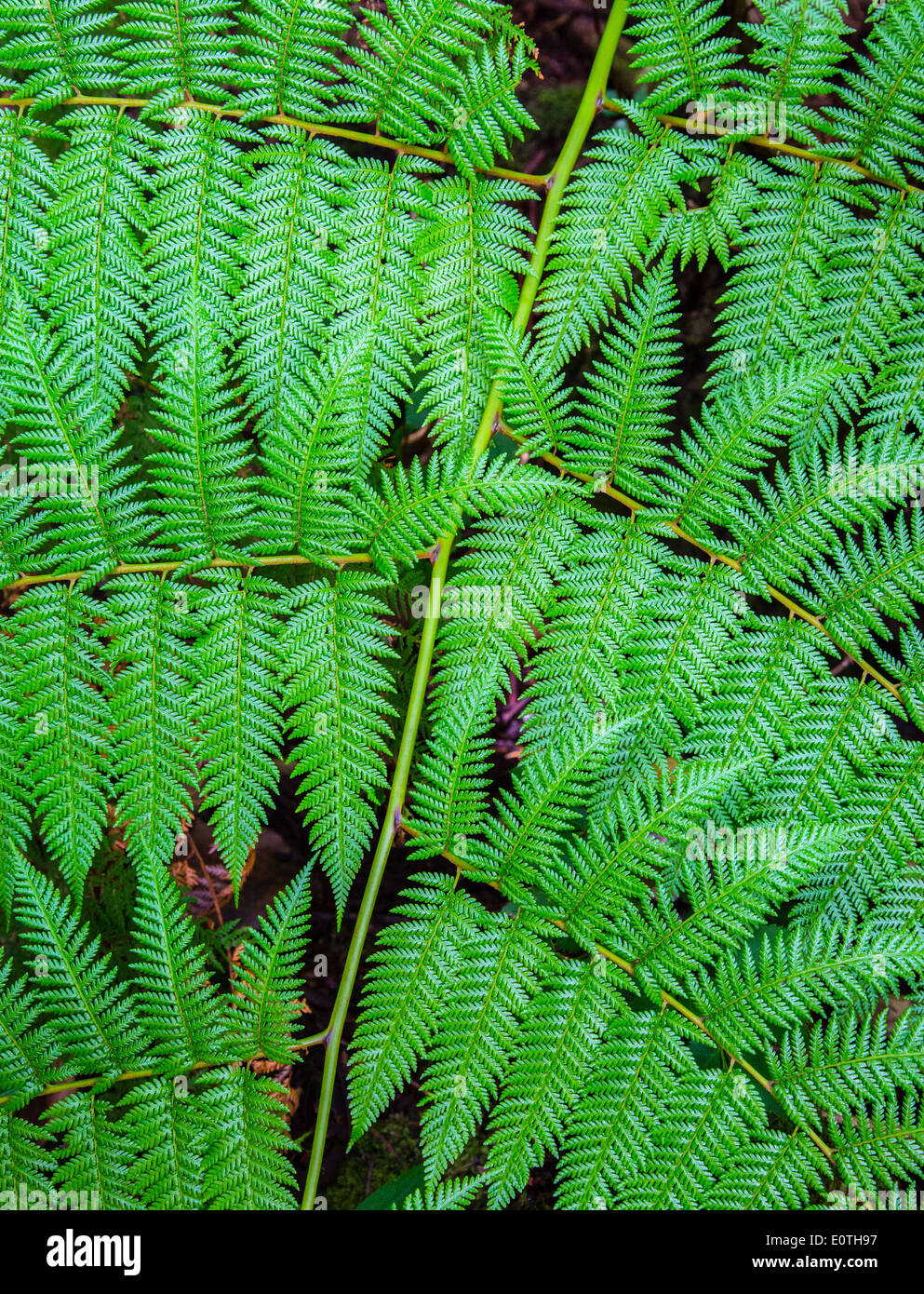 Detail of large fern leaf in montane forest at Poas volcano Costa Rica - Stock Image