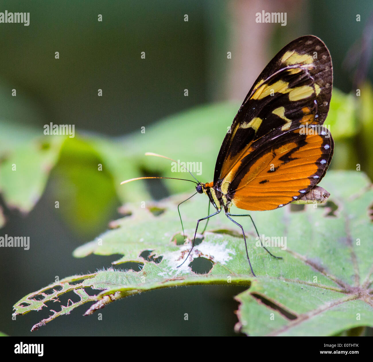 Tiger Longwing butterfly Heliconius cydno chioneus feeding from bird droppings on a leaf at Sarapiqui Costa Rica - Stock Image