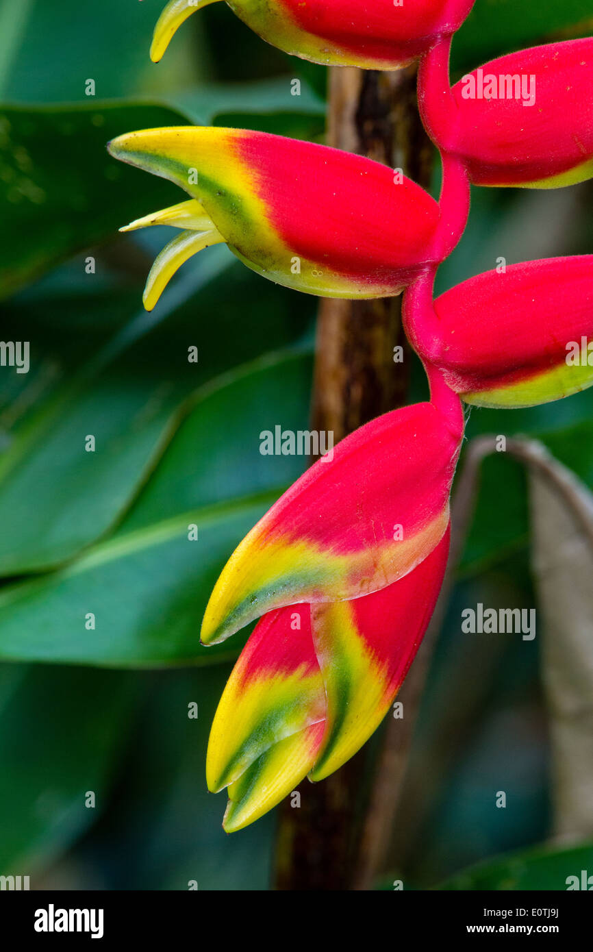 Detail of Heleconium flower Heliconia pendula Costa Rica - also known as Lobster Claw flower - Stock Image