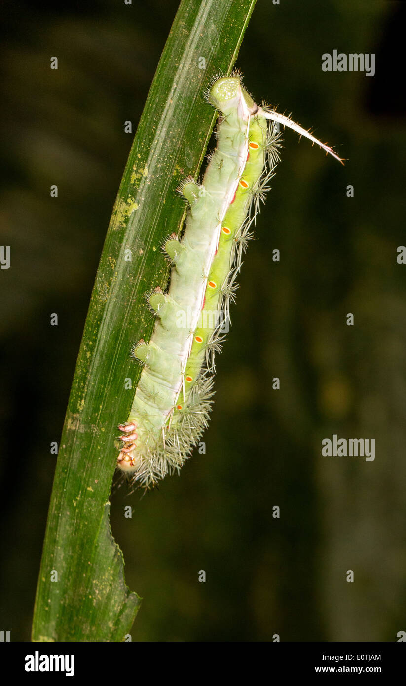 Fearsomely armoured caterpillar covered in spines with a long tail spike feeding on a leaf in the rainforest of Costa Rica - Stock Image