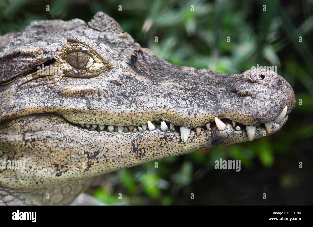 Alluring grin of a young Black Caiman Melanosuchus niger - a captive animal from a Costa Rican bird park - Stock Image