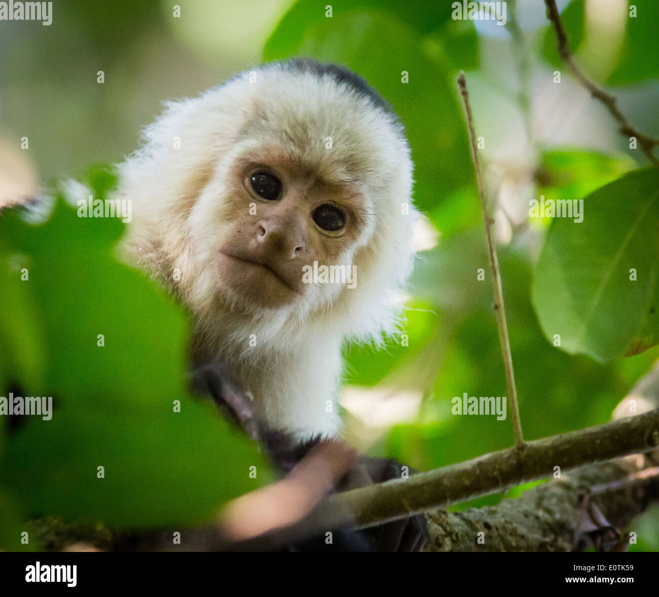 White Faced Capuchin monkey peering down from tree canopy at Monteverde in Costa Rica - Stock Image