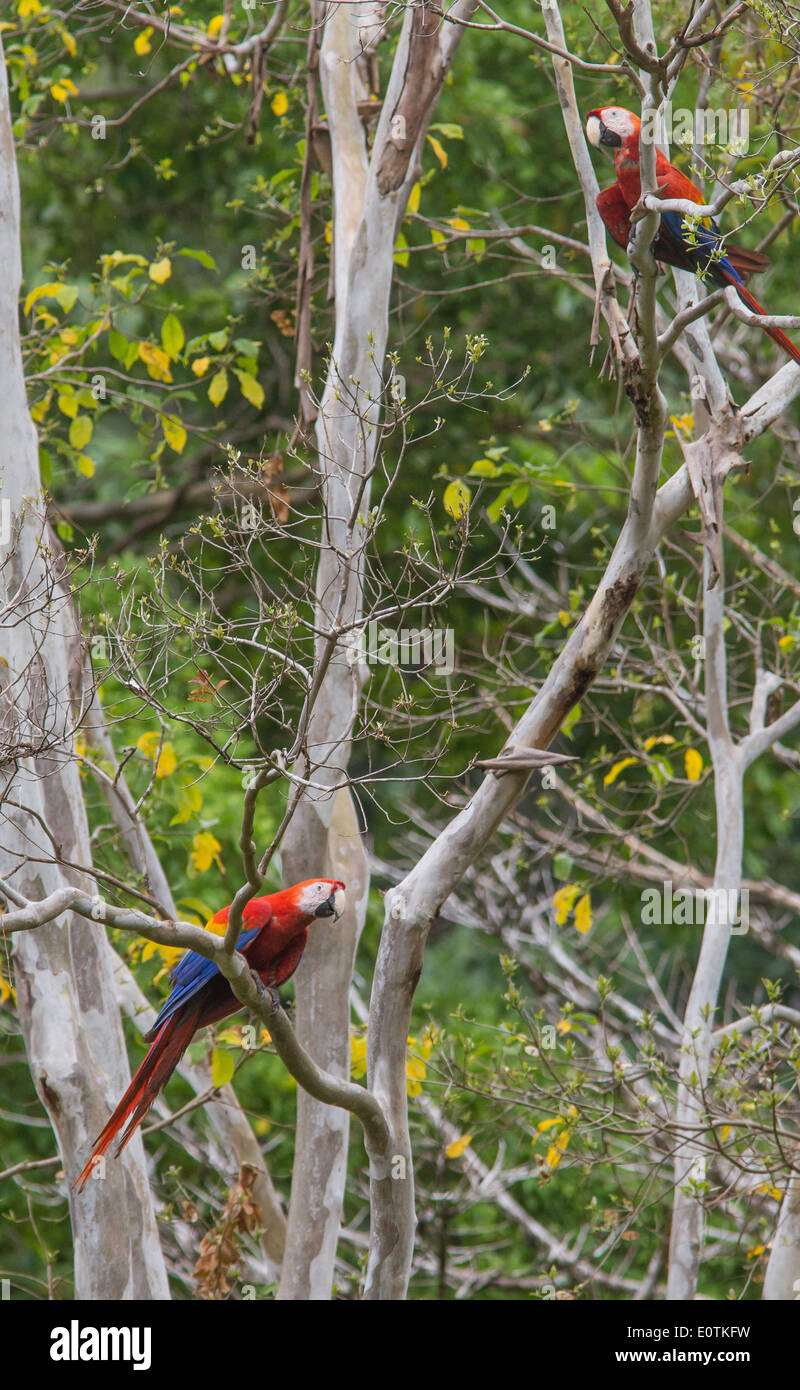 Pair of Scarlet Macaw Ara macao staking out a large tree on the Osa peninsula in southern Costa Rica - Stock Image