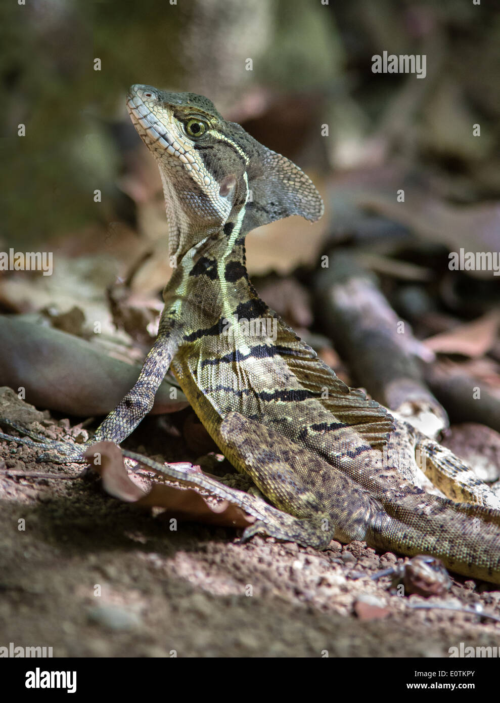 Brown Basilisk or Jesus lizard Basiliscus basiliscus on dry forest floor in the Corcovado National Park Costa Rica - Stock Image
