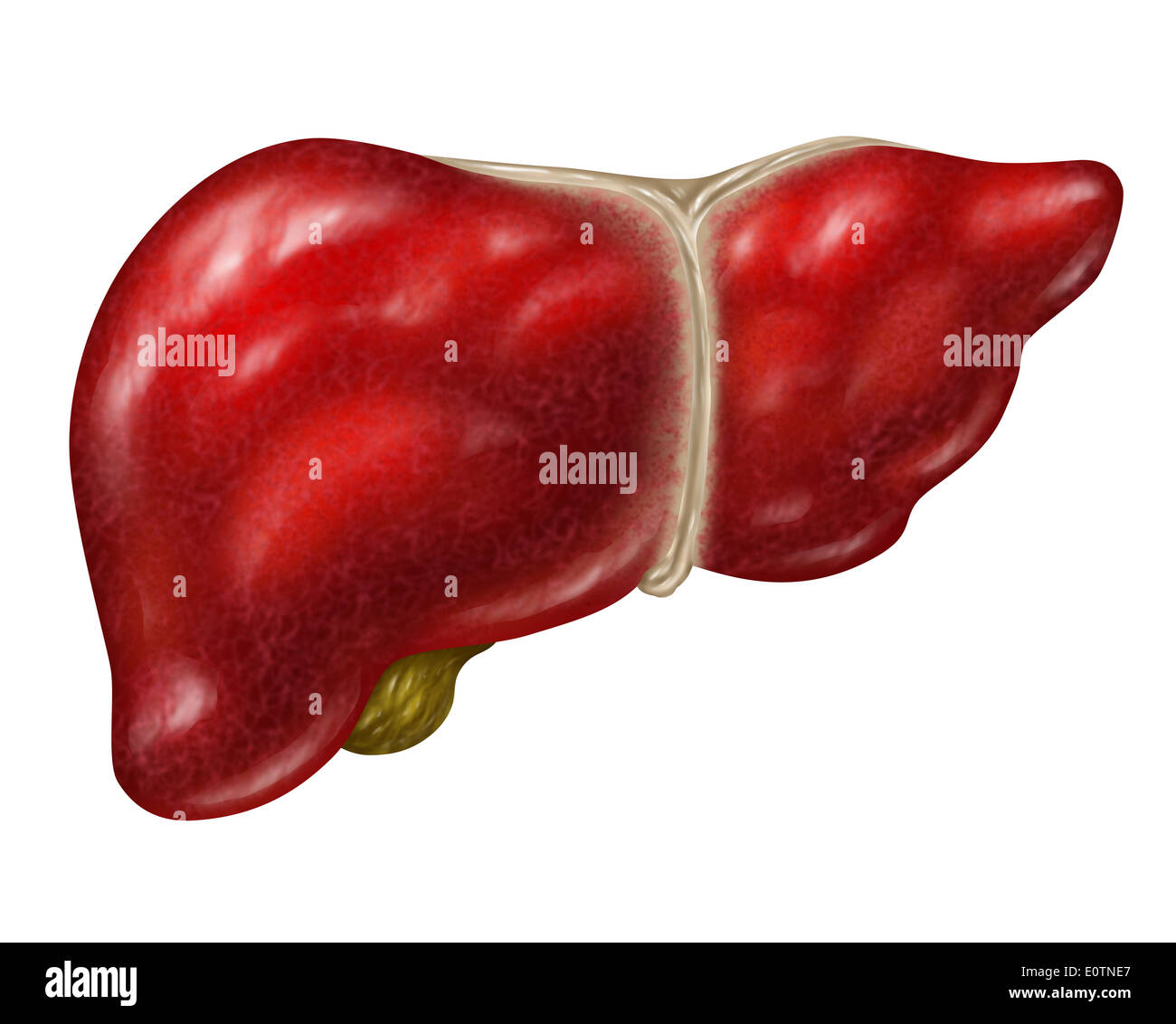 Human Liver Body Part Isolated On A White Background With The Gall