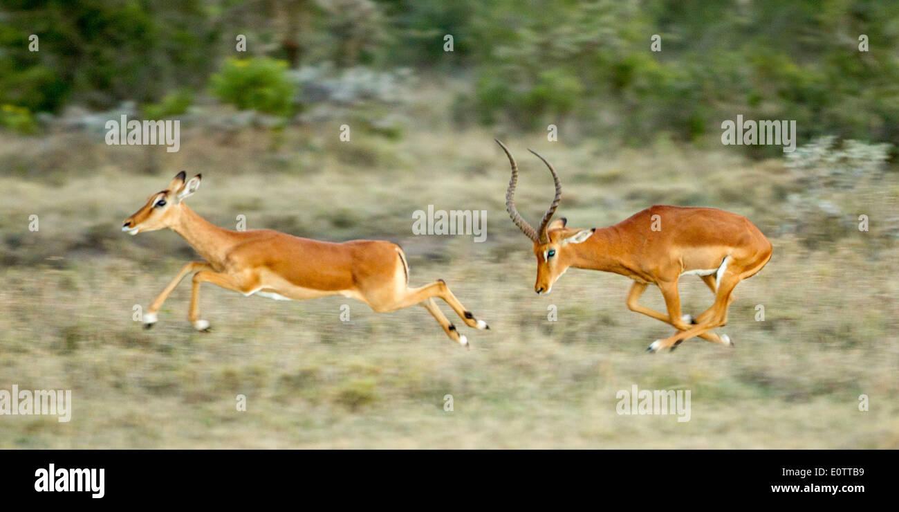 Male Impala chasing a female at high speed, Laikipia, Kenya, Africa Stock Photo