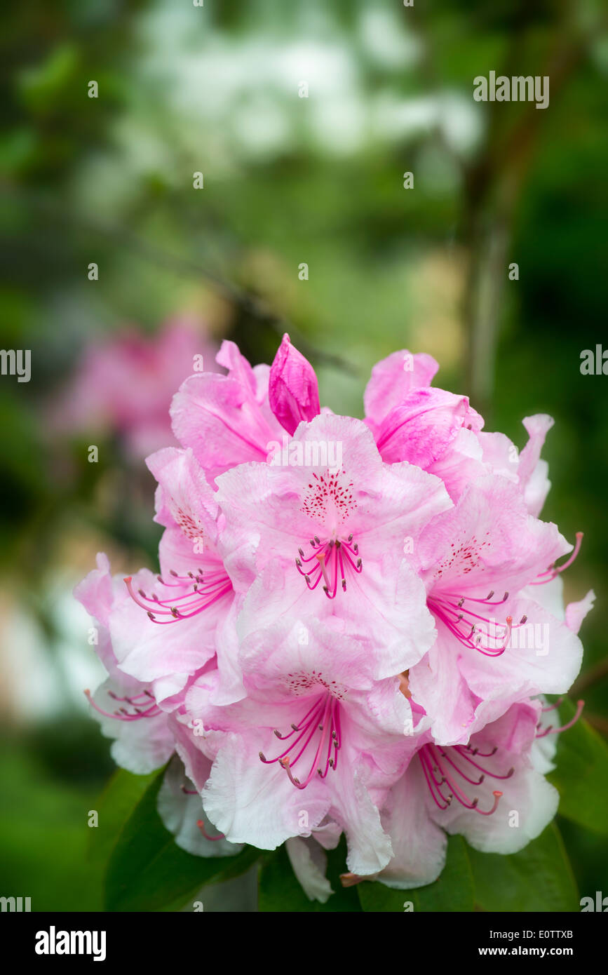 Rhododendron Pink Pearl May 2014 with out of focus background Stock Photo