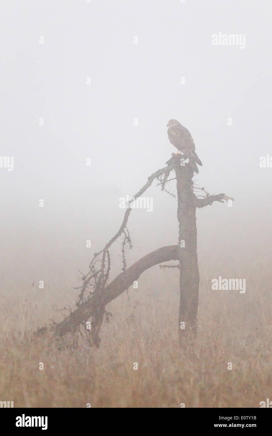 African Marsh Harrier on broken tree, early morning mist, Laikipia Kenya Africa - Stock Image