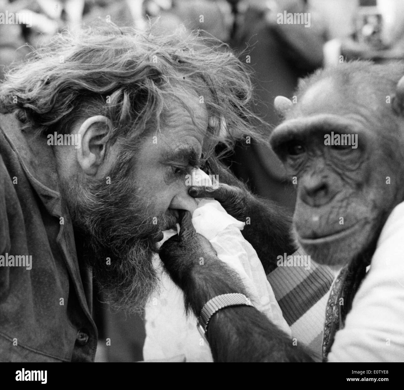 A chimpanzee picking Hugh Griffith's nose on set of a film - Stock Image