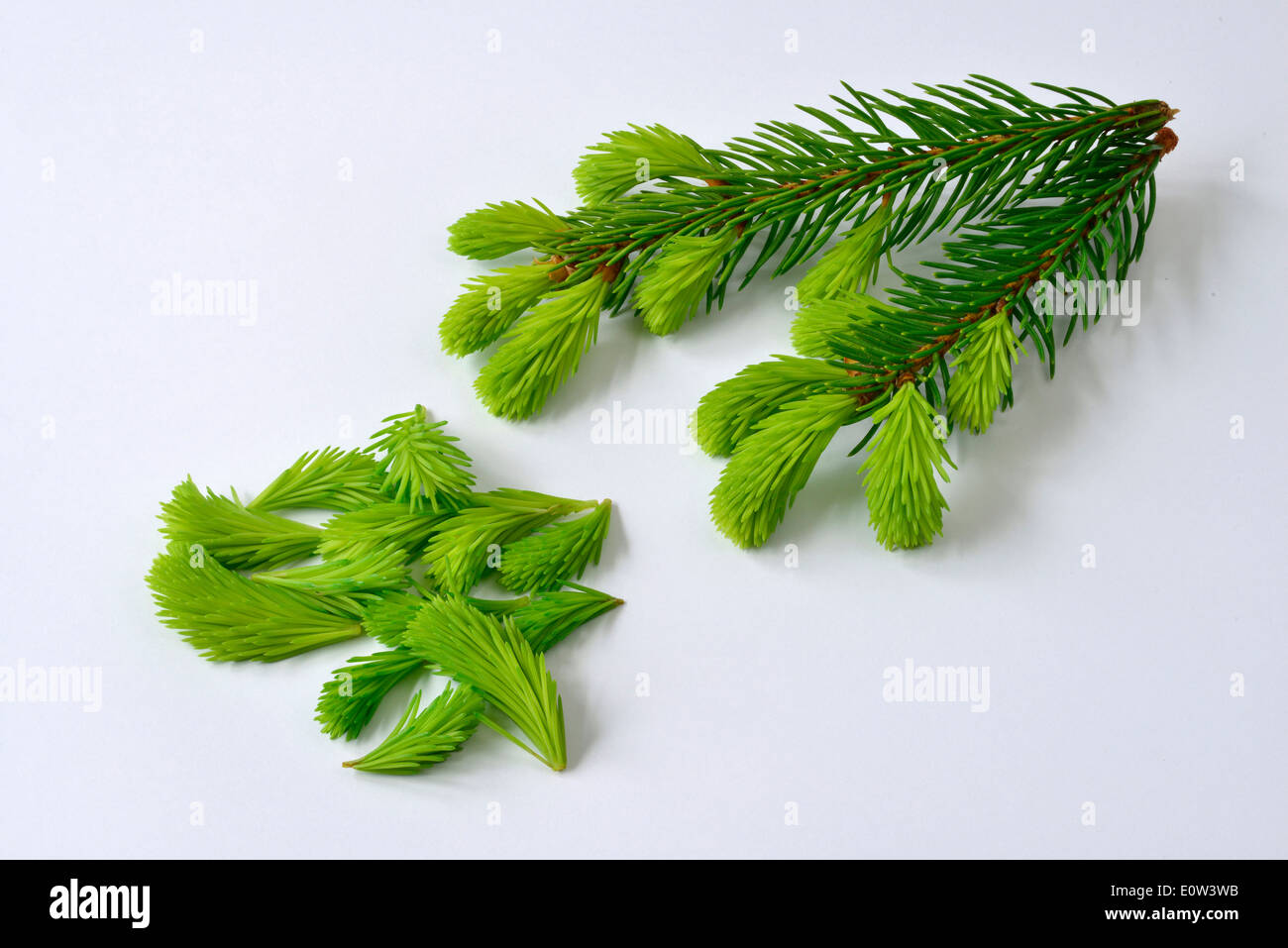Common Spruce, Norway Spruce (Picea abies). Twig and fresh shoots. Studio picture against a white background - Stock Image