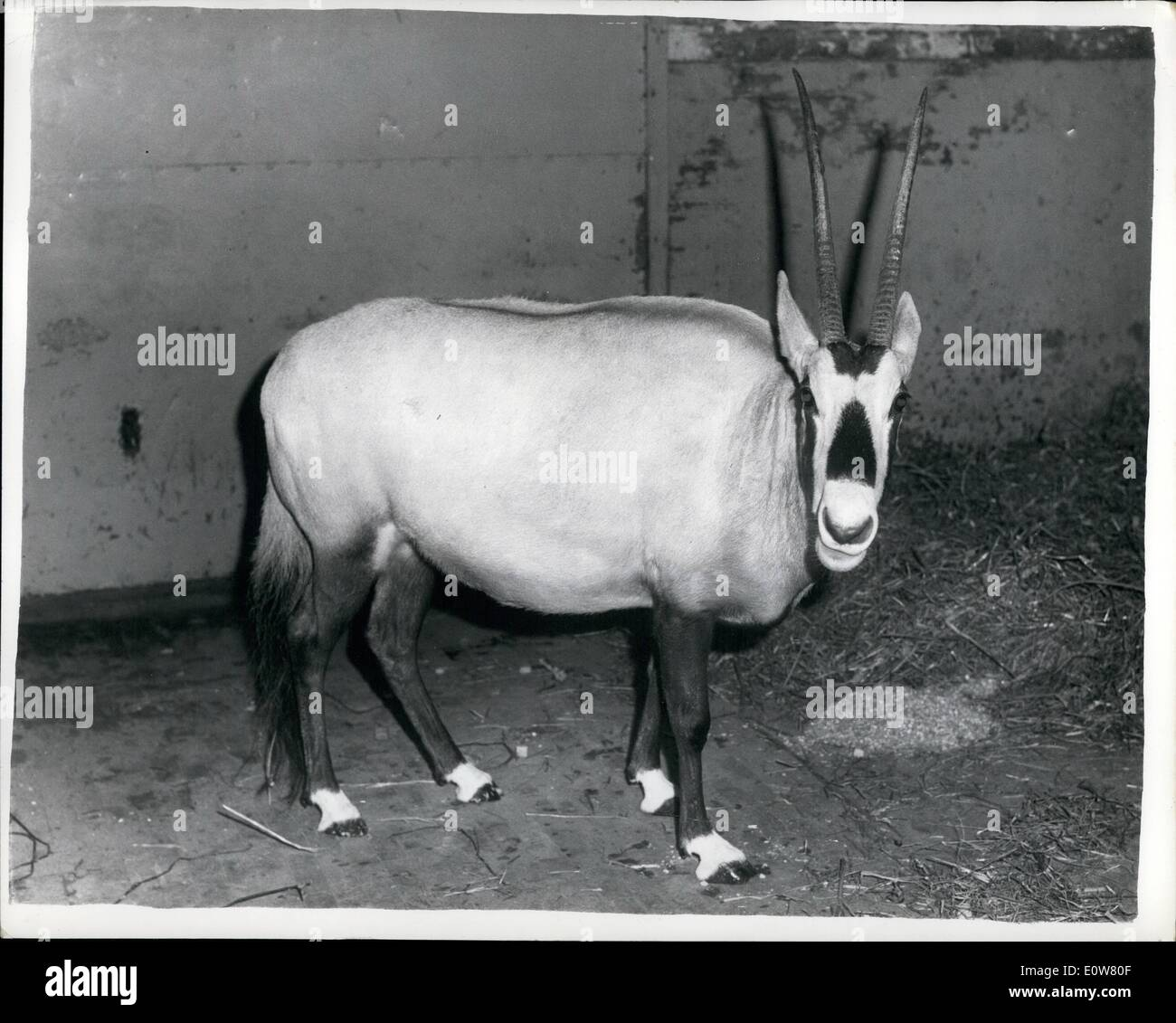 Jan. 01, 1962 - Desert Massacre To Please Harem: Sixteen oryx, giant members of the antelope family and some of the world's rarest animals, were mown down by machine-gun fire during a massacre organized by a desert chief to boost his reputation with the women of his harem. Before the mass killing in Arabia only about 40 oryx were thought to be still in existence - including one prized specimen at the London Zoo. The original herds shrank because among Arabs the killing of an oryx is supposed to be a mark of a man's virility - Stock Image