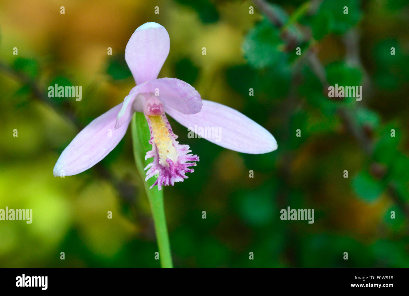 Pogonia (Pogonia ophioglossoides), flowering stalk Stock Photo