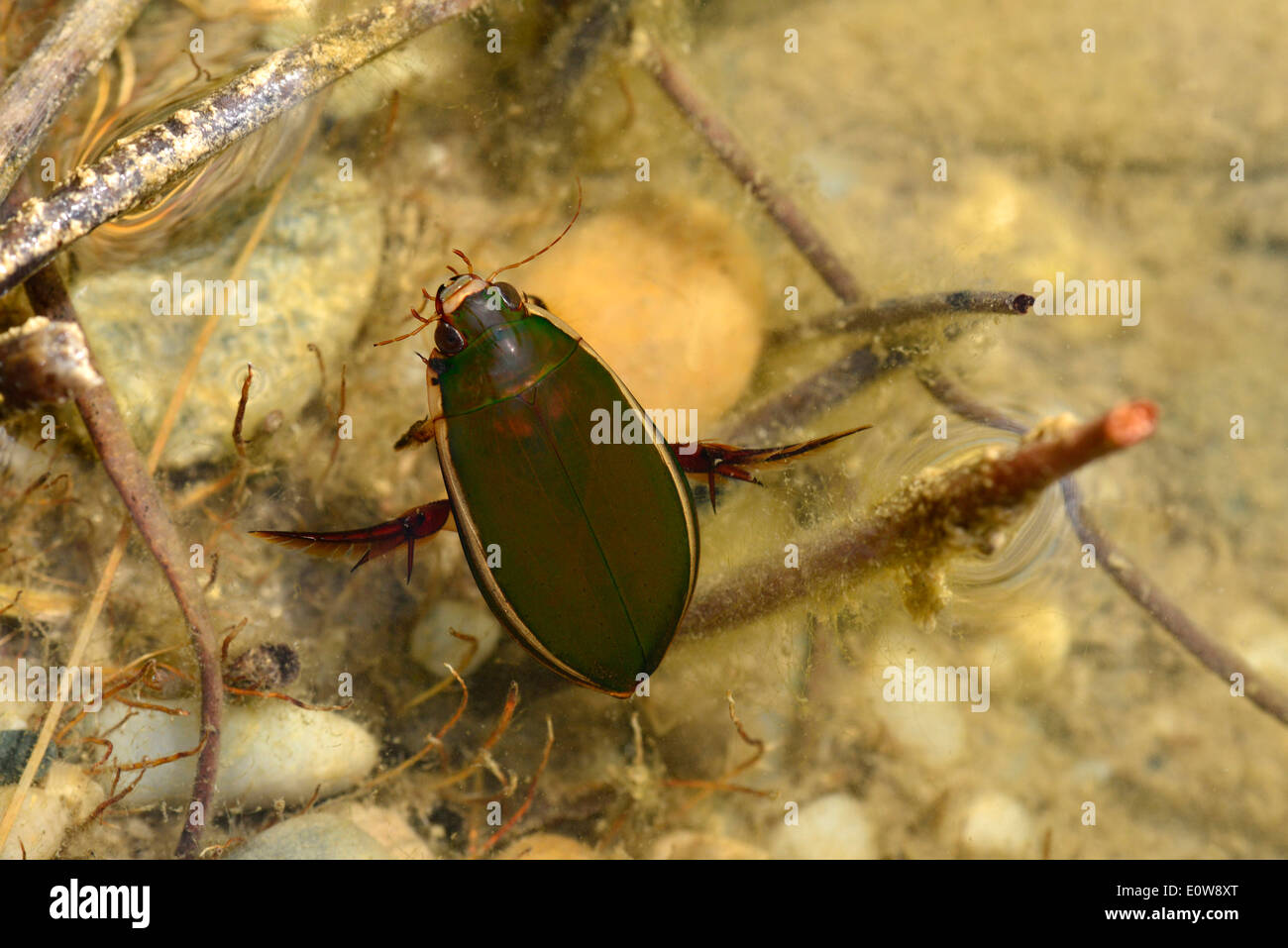 Great Diving Beetle (Dytiscus marginalis), beetle swimming under water. Germany - Stock Image