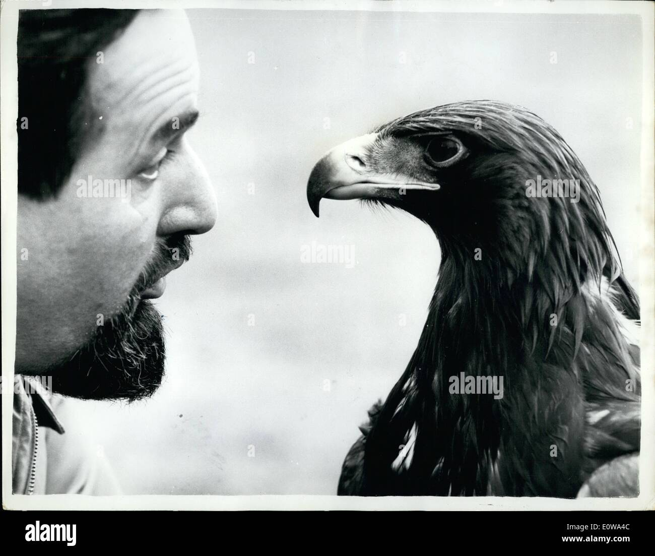 Apr. 04, 1962 - Phillip Has The Job Of ''Untaming'' The Golden Eagle: The Golden Eagle is a rare bird on these shores - and even rarer- is a tame one. Crofter Donald MacIsaac of Benbecula (North Scotland) was responsible for catching and taming ''Mrs. Murdoch'' as his 11 months old Eagle is called. But the authorities heard about ''Mrs. Murdoch'' - and informed Donald that Golden Eagles are ''Protected Birds'' - so - back-to-nature she must go. The job of preparing ''Mrs. Murdoch'' to return to her natural state has been given to Phillip Glazier of Whitefacem near Bonar Ridge, Sutherland - Stock Image