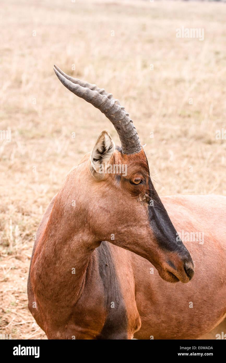 Topi (Damaliscus korrigum) Photographed in Africa, Tanzania, Serengeti National Park - Stock Image