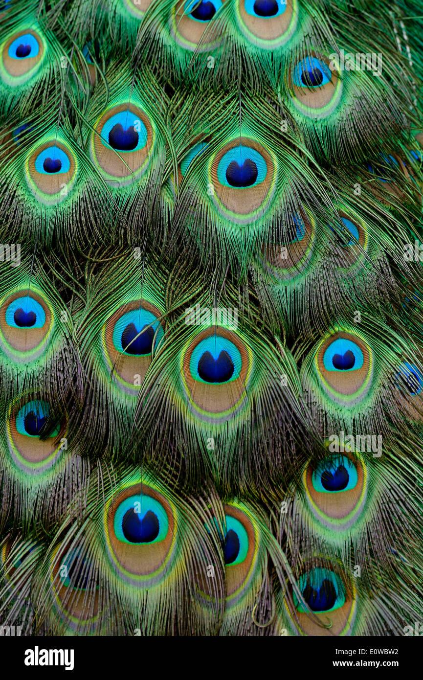 Indian Peafowl or Blue Peafowl (Pavo cristatus), tail feather detail, captive, Steppentierpark Pamhagen animal park, Austria - Stock Image
