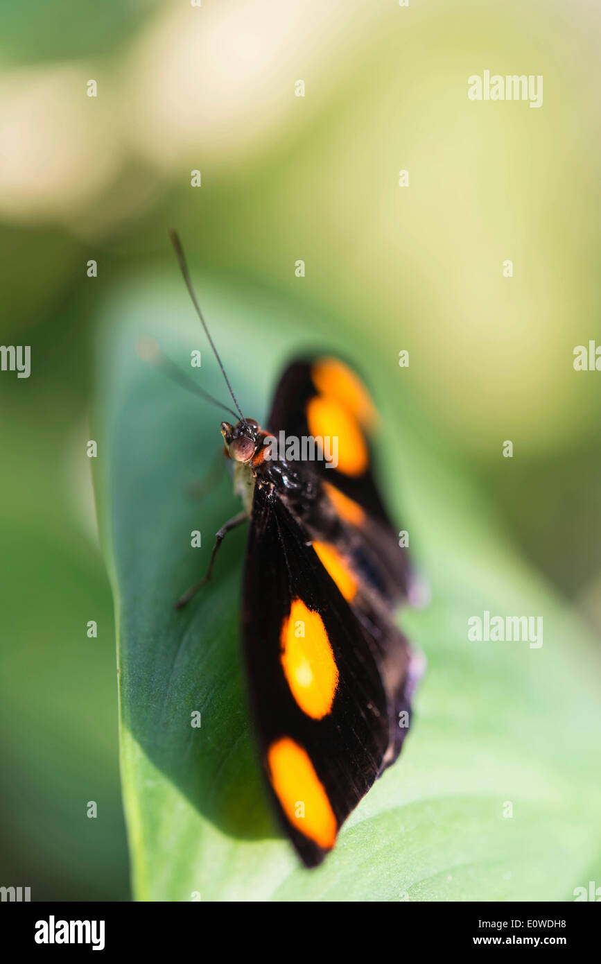 Blue-frosted Banner, Blue-frosted Catone or Grecian Shoemaker (Catonephele numilia), butterfly perched on a green - Stock Image