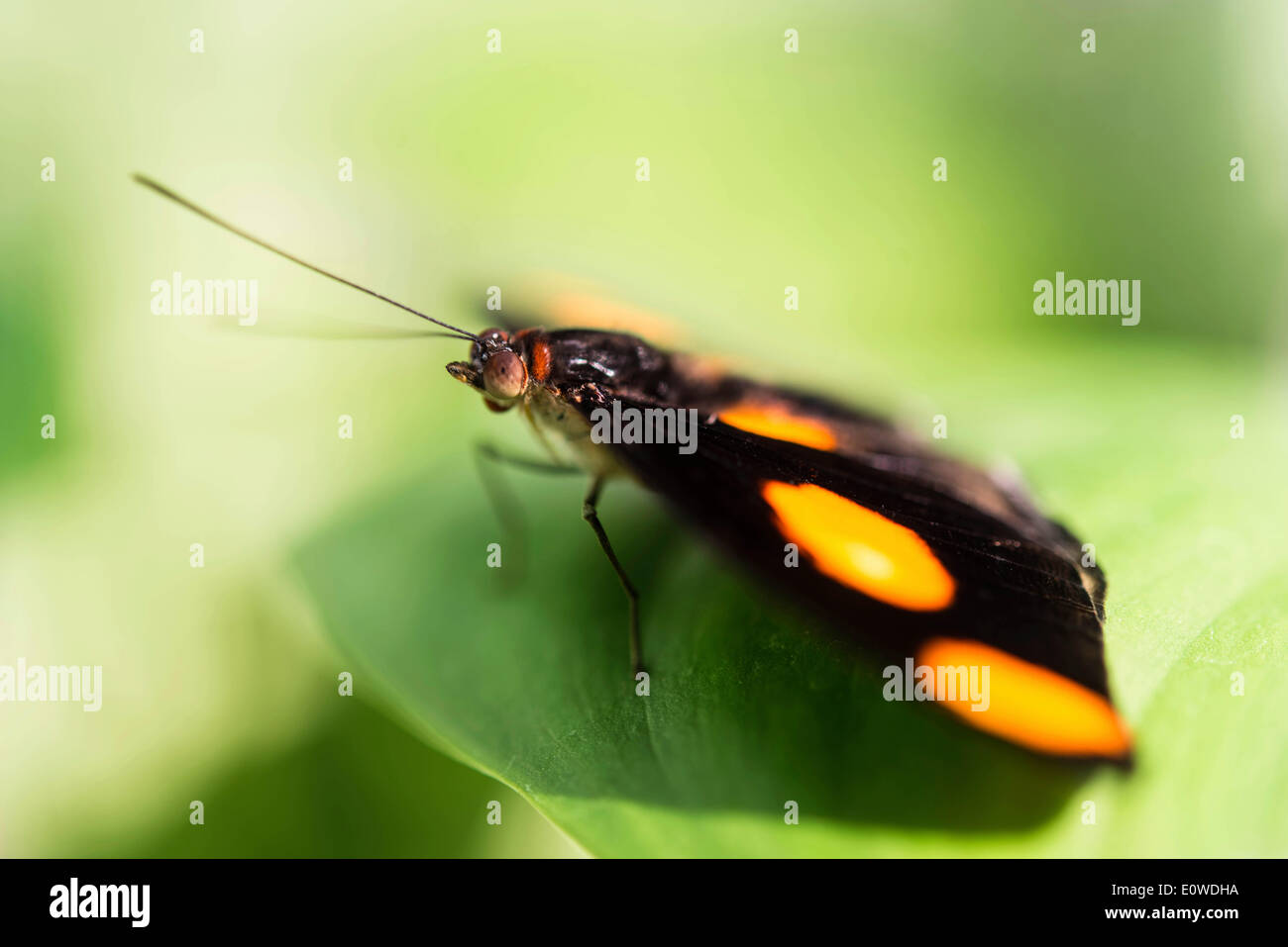 Blue-frosted Banner, Blue-frosted Catone or Grecian Shoemaker (Catonephele numilia), butterfly perched on a green leaf, captive - Stock Image